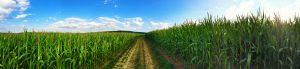 dirt path in a cornfield
